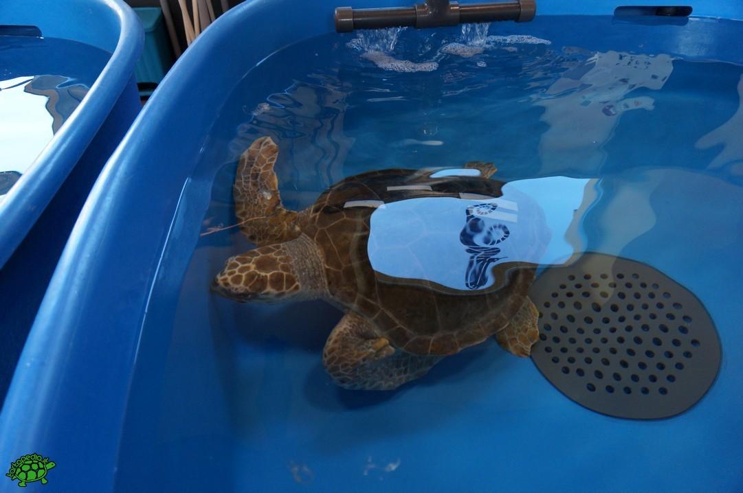 Foto inaugurato il centro ricerche tartarughe marine for Vasche per tartarughe marine