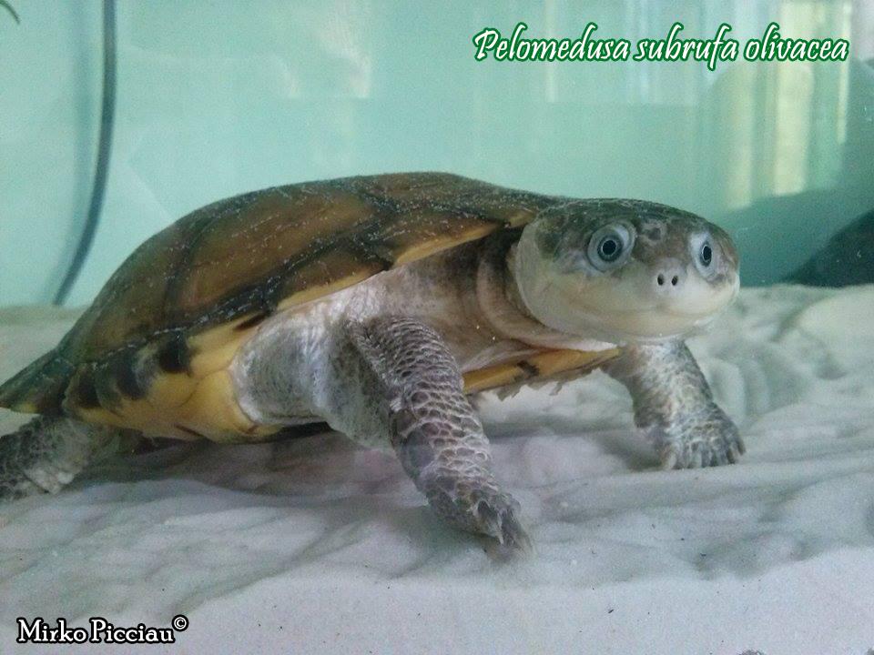 Pelomedusa subrufa scheda riassuntiva tartapedia for Tartarughe marine letargo