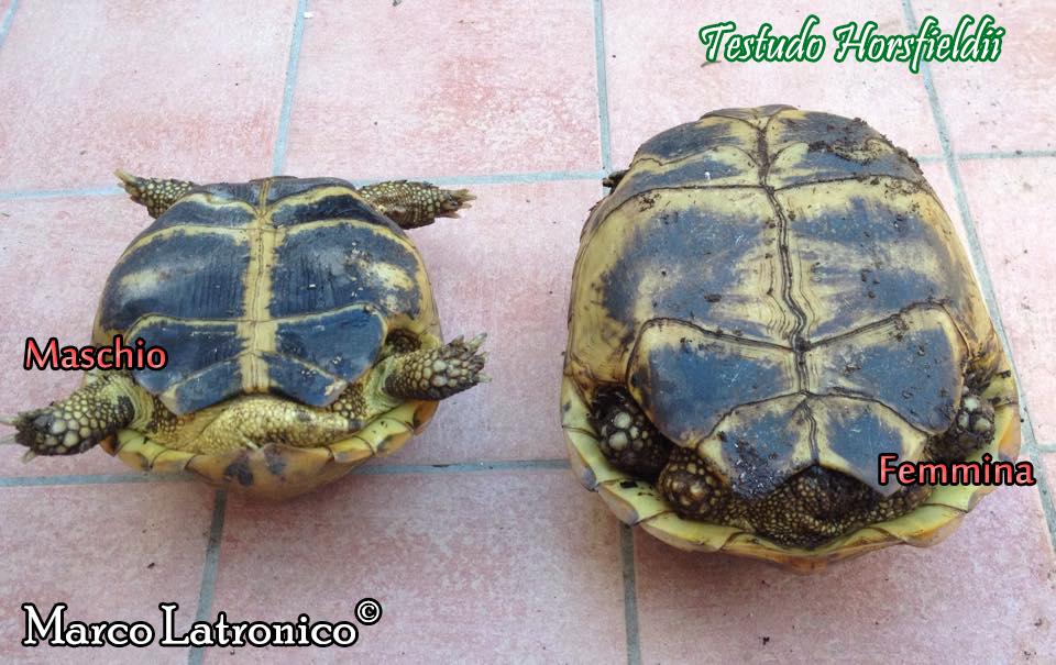 Testudo agrionemys horsfieldii scheda riassuntiva for Tartaruga di terra maschio o femmina