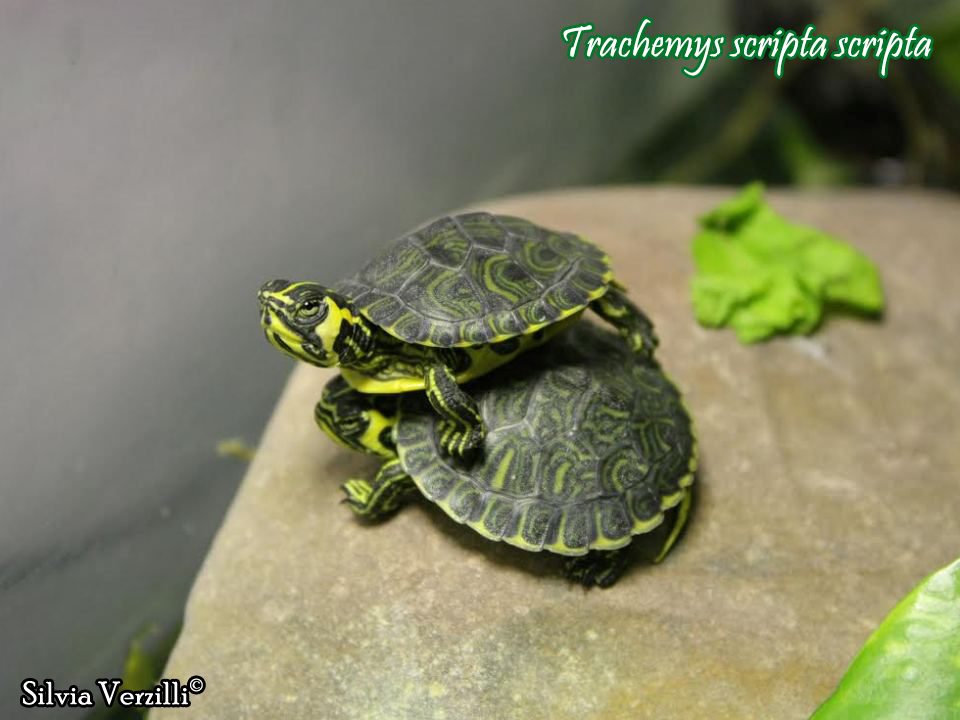 Trachemys scripta scheda riassuntiva tartapedia for Trachemys scripta