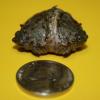 Una sternotherus a due teste, ritenuta la più piccola del mondo