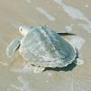 L'agopuntura arriva nel mondo delle tartarughe