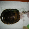 [IMMAGINI CRUDE] Il risultato di una convivenza errata tra tartarughe