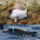 La strage della plastica: centinaia di tartarughe e delfini uccisi nell'Adriatico