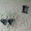 Turisti salvano tartarughe marine appena nate a Strongoli (KR)