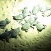 Schiuse ben 93 uova di Caretta Caretta a Palinuro (SA)