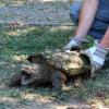 """Tartaruga alligatore """"pescata"""" nell'Arno"""