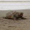 Strage di tartarughe in pochi giorni nel Mar Adriatico