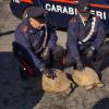 Detenzione illegale di tartarughe e droga: due arresti a Roma