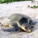 Rarissima tartaruga spiaggiata a Devon (UK)