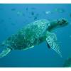Rarissima tartaruga verde spiaggiata nel versiliese