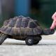Septimus, la tartaruga disabile che torna a camminare.