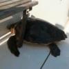 Il Centro Tartanet salva una tartaruga in difficoltà a Punta Campanella