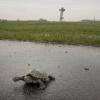 Invasione di tartarughe: ritardo per i voli all'aeroporto JFK