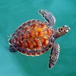 Le sette specie di tartaruga marina