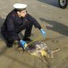 Altre tre tartarughe marine spiaggiate a Pesaro