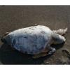 Caretta caretta spiaggiata senza vita nel salernitano