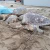 Decine di tartarughe morte negli ultimi giorni nell'Adriatico