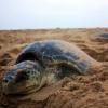 Centocinquanta tartarughe marine spiaggiate morte in India
