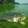 "Muore uno dei 4 esemplari rimasti della tartaruga ""Rafetus swinhoei"""