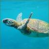 Isole Eolie: nel 2015 aumenta del +20% la presenza di tartarughe