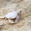 Chelonia mydas albina nata in Australia