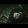 E' morta Thunder: la tartaruga alligatore centenaria