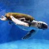La tartaruga cieca torna a mangiare grazie alla donazione di un turista inglese