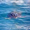 Due tartarughe marine liberate al largo di Nerano (NA)