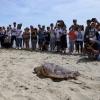 """Duecento persone ad assistere alla liberazione della tartaruga """"Banana"""""""