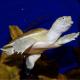 Pelodiscus sinensis: Scheda Riassuntiva