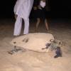 Le tartarughe marine tornano a nidificare a Menfi (AG)