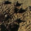 Oltre 80 tartarughine nascono sulla spiaggia di Pozzallo (RG)