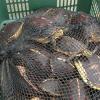 Fermati quattro asiatici, trafficavano tartarughe in Cina