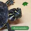 Ascesso auricolare nelle tartarughe