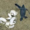 Le baby tartarughe predate fonte di vita per le spiagge