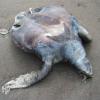 Continua la moria di tartarughe marine sulla costa adriatica