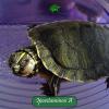 Ipovitaminosi A (carenza di vitamina A) nelle tartarughe