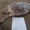 Moria di tartarughe marine sul litorale adriatico