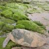 Mattanza di tartarughe verdi per scopi alimentari in Yemen