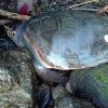 Carcassa di tartaruga tra gli scogli ad Ischia (NA)