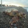 L'appello del WWF Rossano per le tartarughe marine