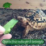 Opuntia ficus-indica (fico d'India) per le tartarughe