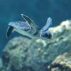 La conservazione delle tartarughe marine all'Oasi di Policoro