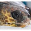 Al via sperimentazione contro i danni da pesca alle tartarughe