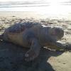 Tartaruga marina trovata morta a Varcaturo (NA)