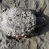 Tartaruga marina spiaggiata morta a Ischitella (CE)