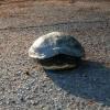 I Parchi milanesi si rifiutano di ospitare una tartaruga