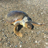 Due tartarughe spiaggiate morte tra Puglia e Sicilia