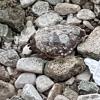 Camaiore, Trani e nel Cilento: decedute tre tartarughe